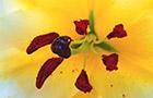 Conoca D'Or Oriental Trumpet Lily