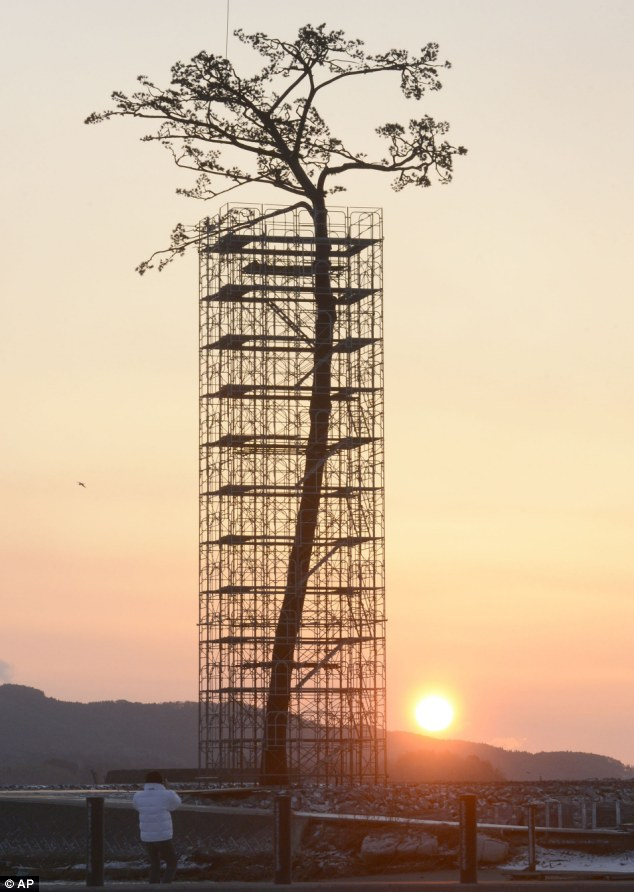 "The ""Miracle Pine"" left standing in the city of Rikuzentakata after the tsunami of March 2011, which was preserved as a monument to the disaster. Photo credit: AP/Kyodo News."