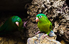 A pair of orange-chinned parakeets