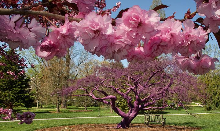 Flowers in bloom in front of purple tree.