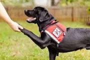 Service dog shaking hands