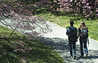 Students walking past cherry trees