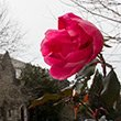 A flower blooms on Swarthmore's campus