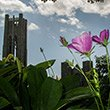 flowers with Clothier Bell Tower in the background