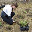 Planting in Crum Woods