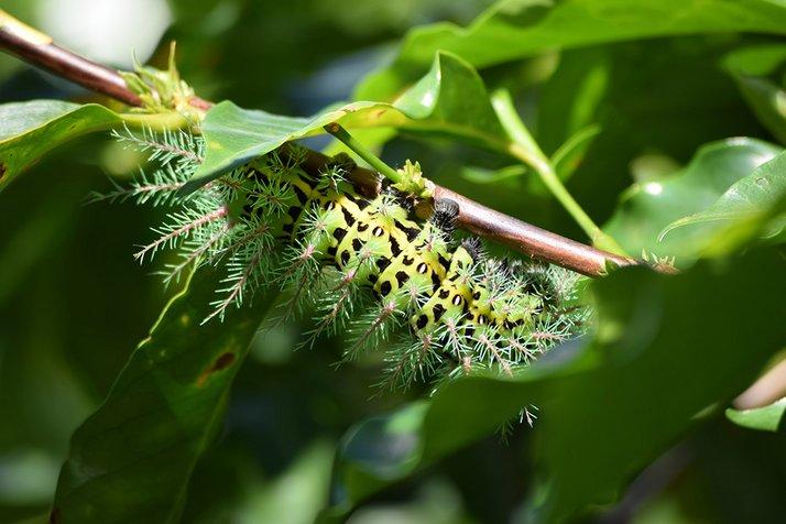 Stinging Silkmoth caterpillar (Automeris metzli) from a coffee plantation in Boquete, Panama