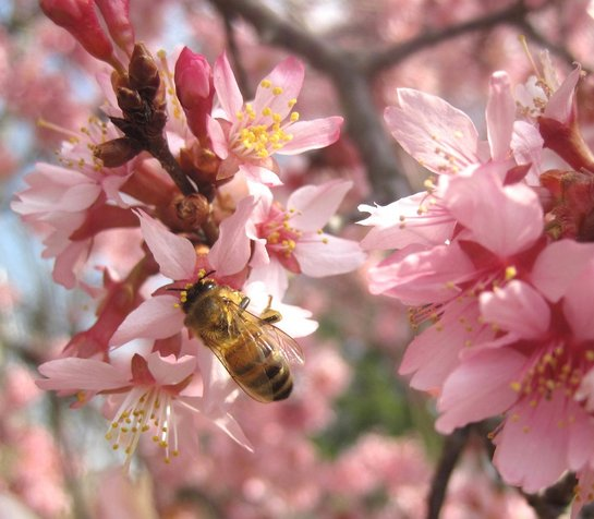 A honeybee pollinating cherry blossoms in the Arboretum Cherry Border