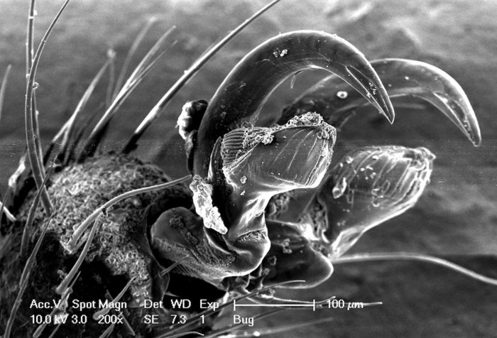 tarsal claw at the tip of a Stink bug's foot