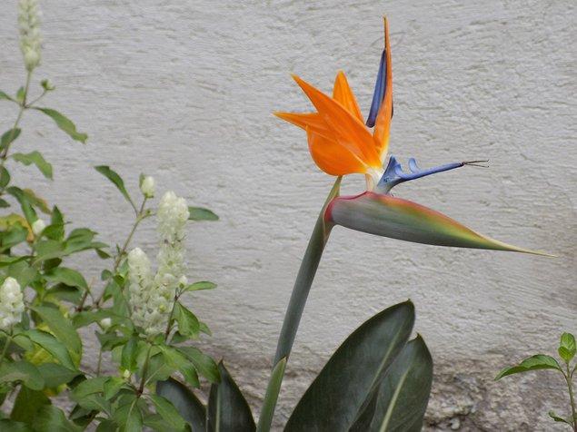 Strelitzia reginae, or the bird of paradise flower
