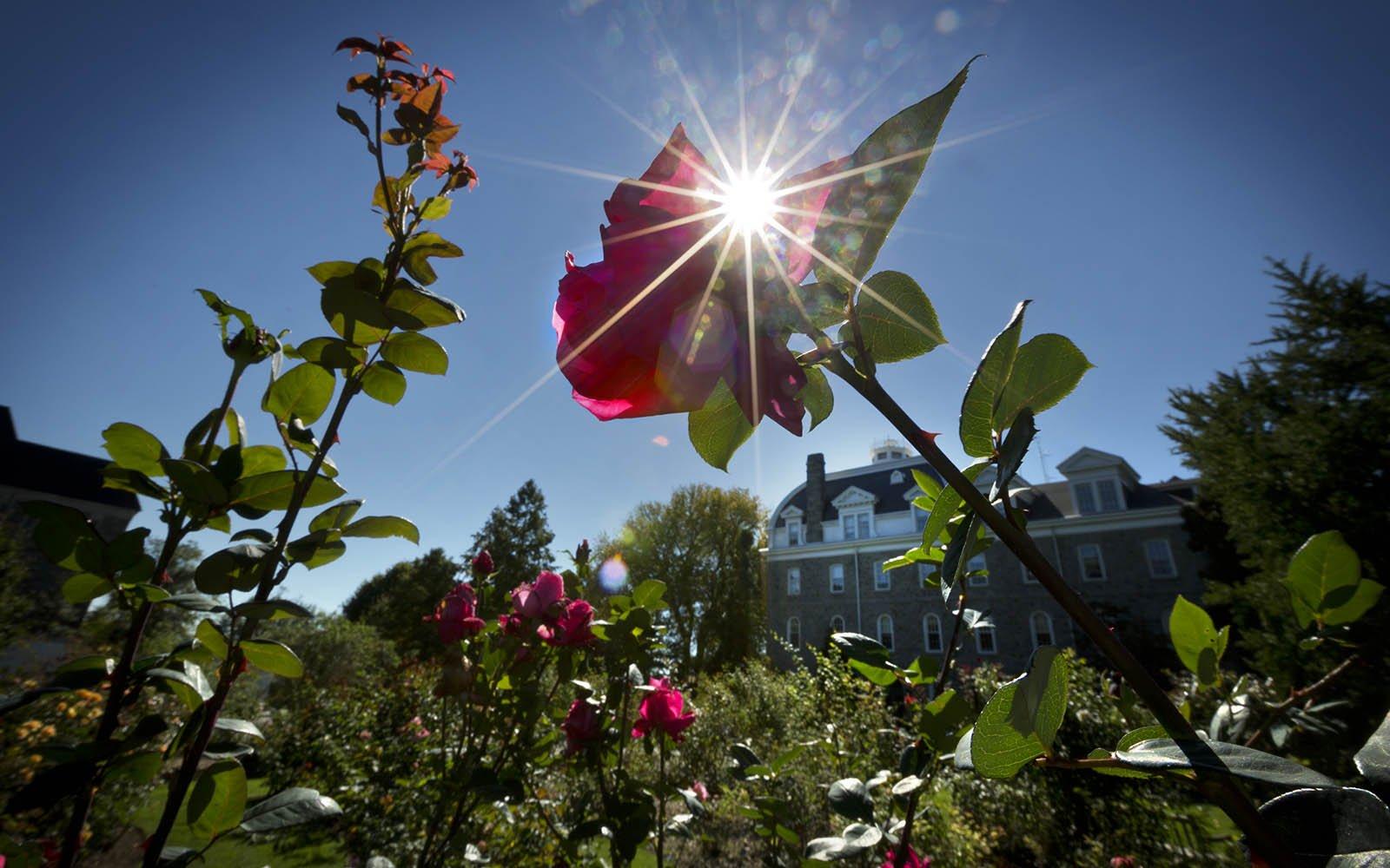 Sunlight through a rose