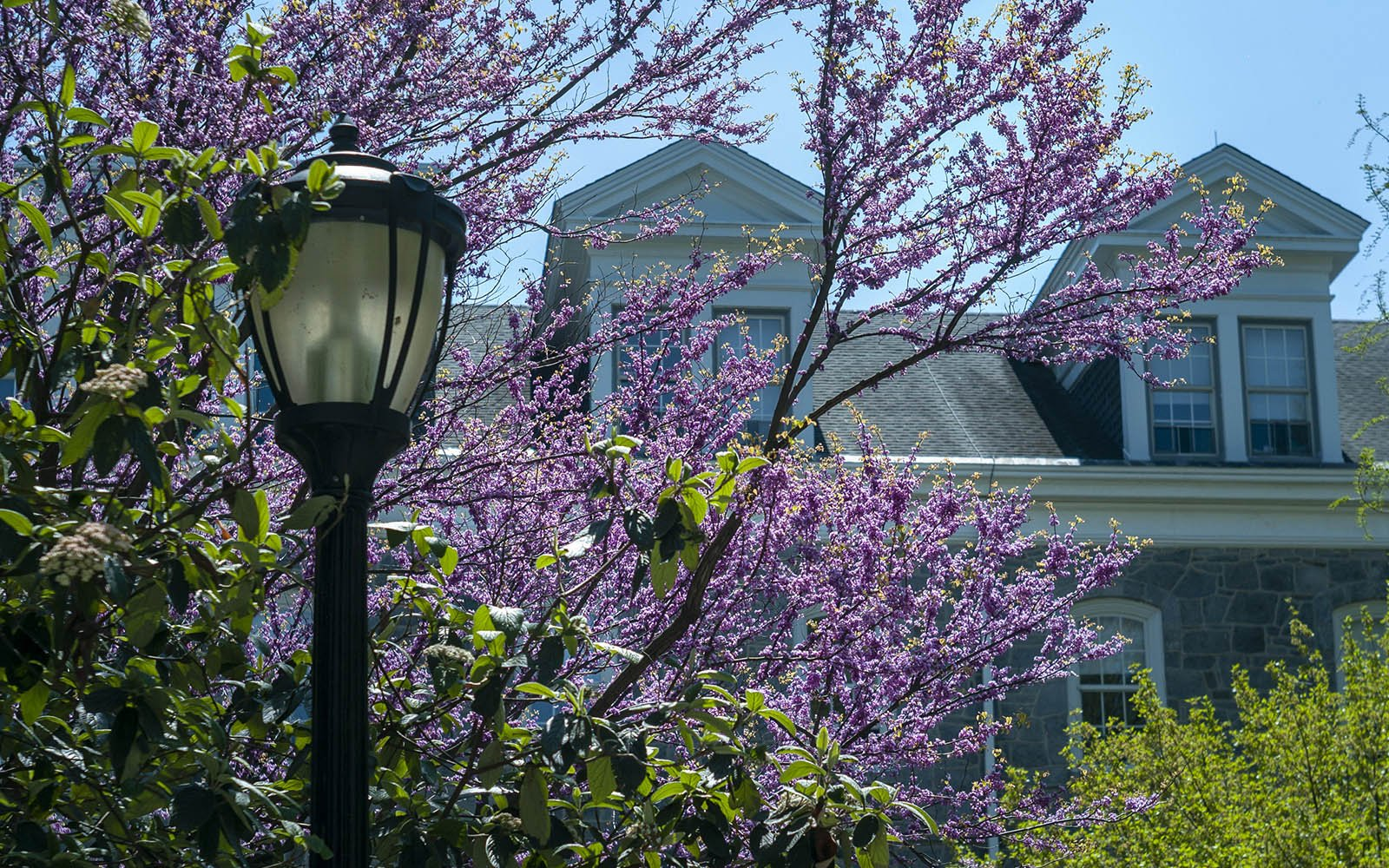 lamp post, purple tree blossoms, parrish hall