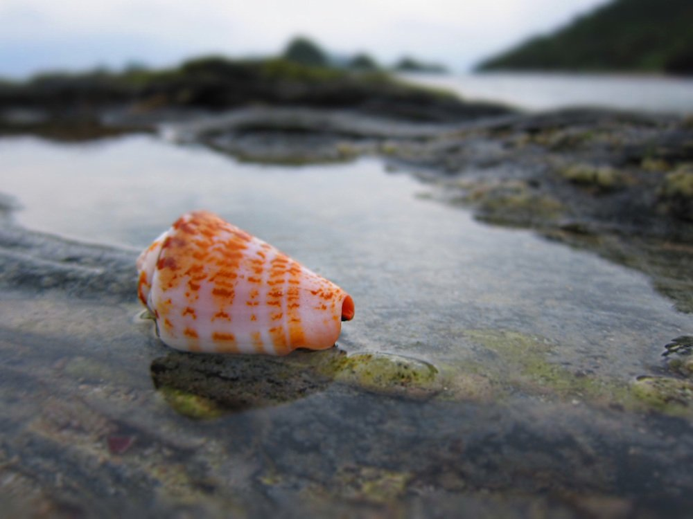 abandoned cone snail shell