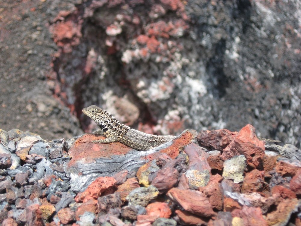 A Galapagos lava lizard at the mouth of El Chico volcano on Isla Isabela in the Galapagos