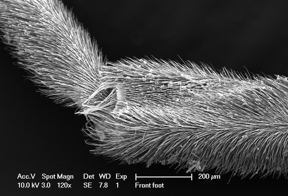 Photo of Water Strider's leg covered in small hydrophobic hairs