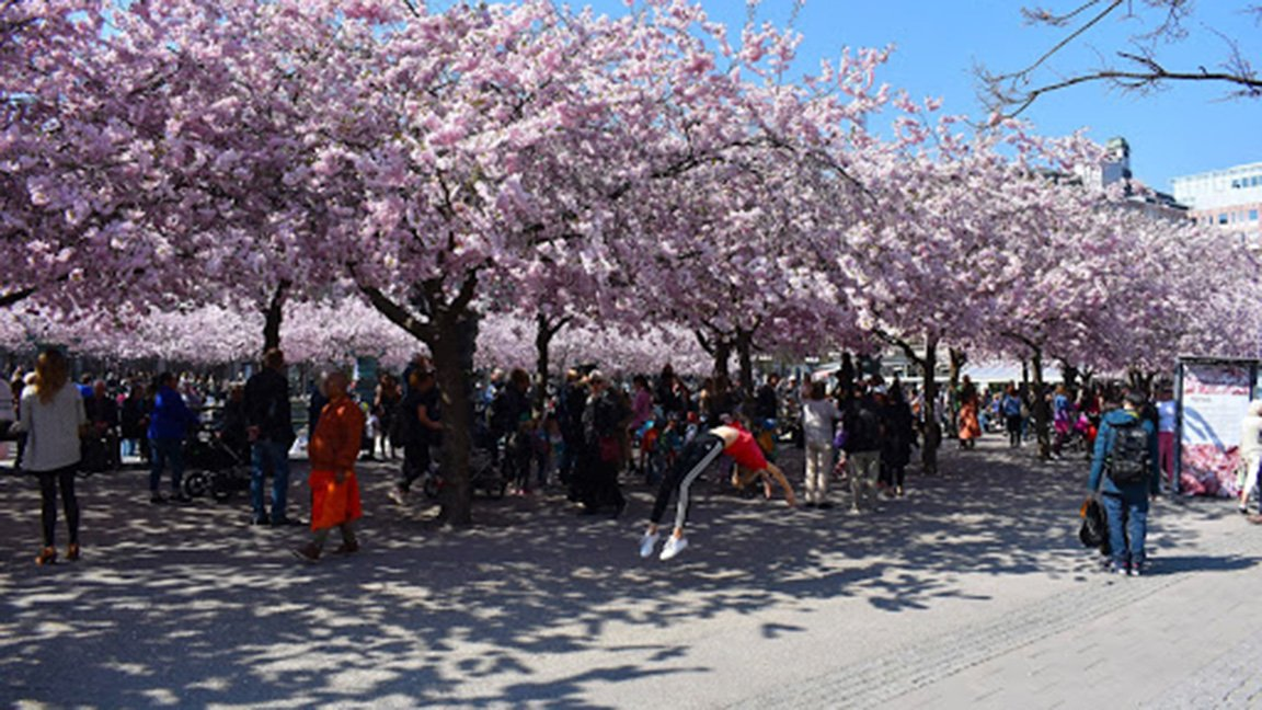 trees in bloom and people jumping, Sweden