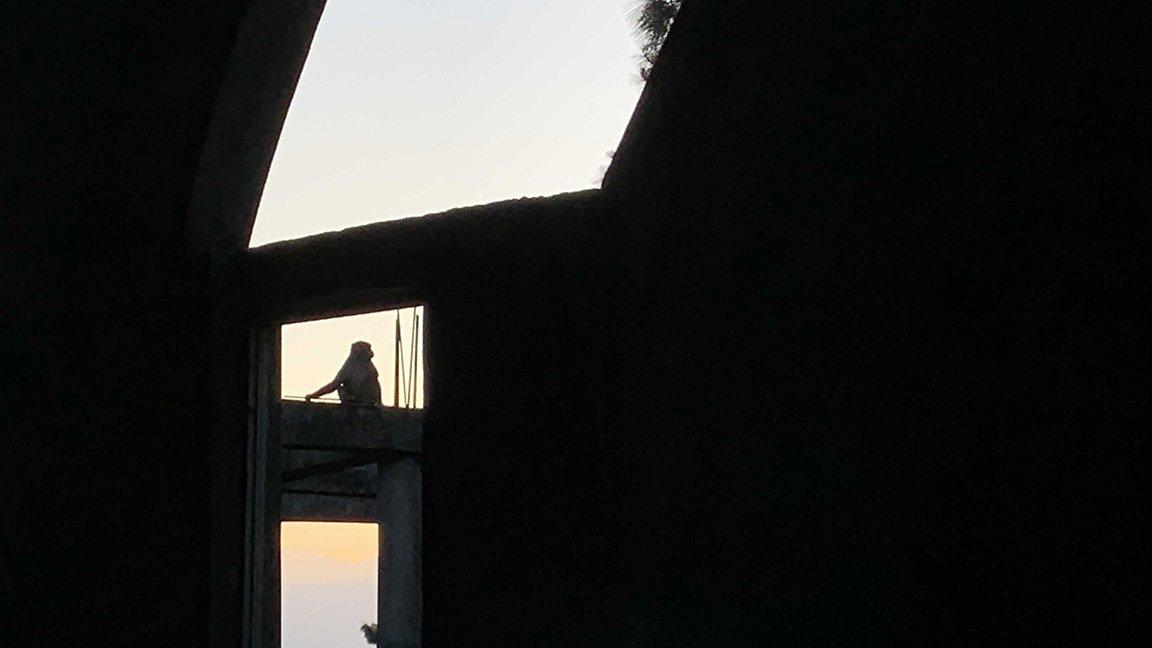 monkey in open window