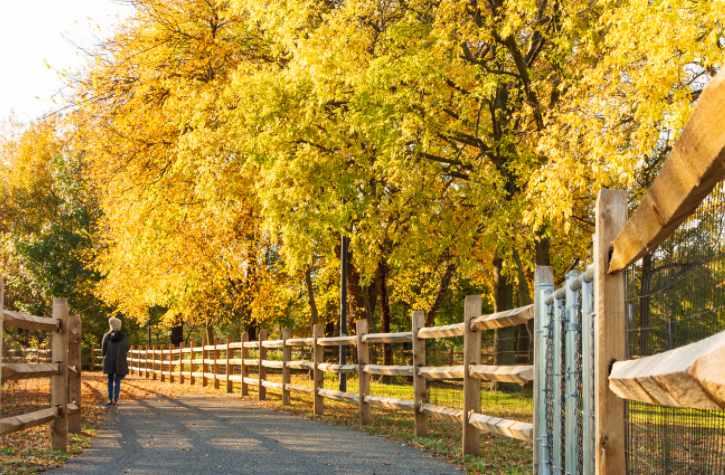 A person is seen from behind walking along a paved path lined with yellow leaf trees.