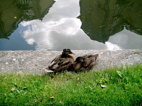 two ducks in Victoria Park, London