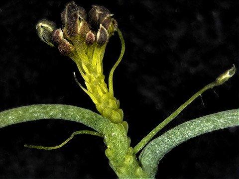 Arabidopsis Z
