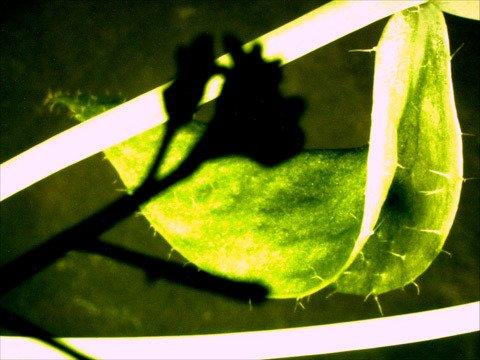 cauline leaf