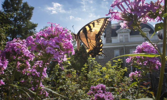 Butterfly in garden near Parrish Hall