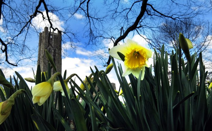 Daffodills bloom in front of the bell tower