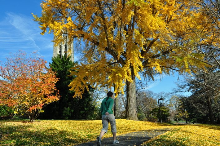 Student walking under yellow ginkgo tree
