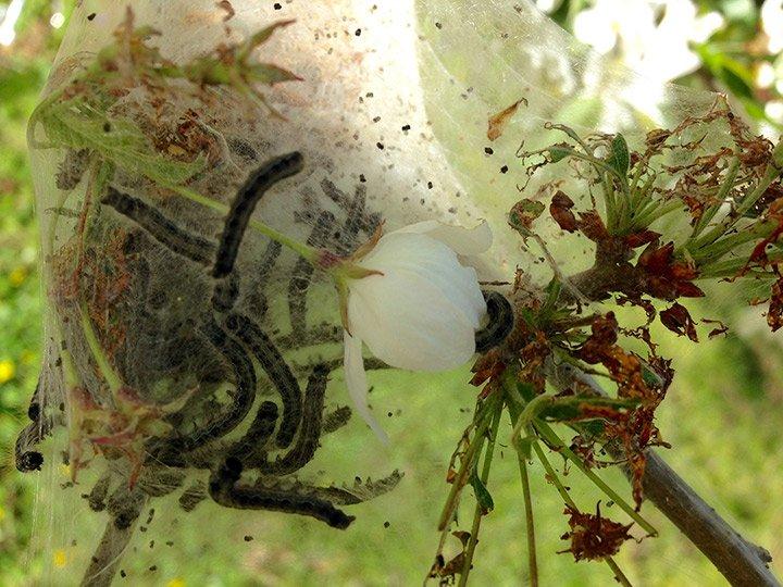 Caterpillars in a crabapple tree