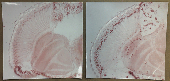 Side-by-side photos show the inside of fruit fly brains at two different times of day