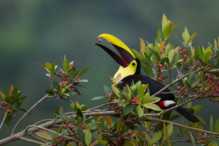 Chestnut-mandibled Toucan, 2012k