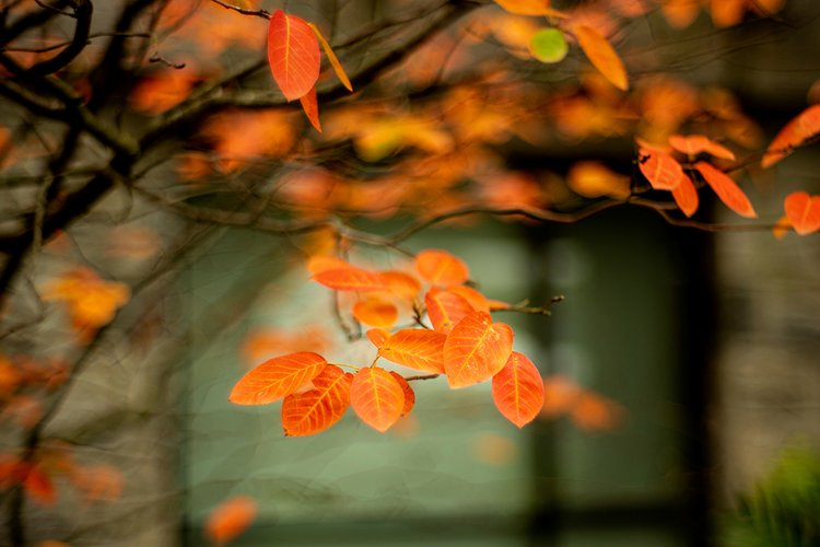 Orange leaves in foreground with building in background