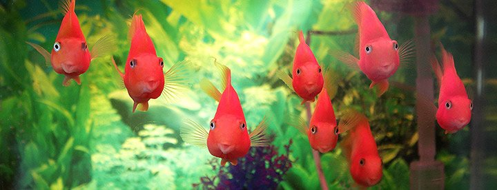 A school of goldfish