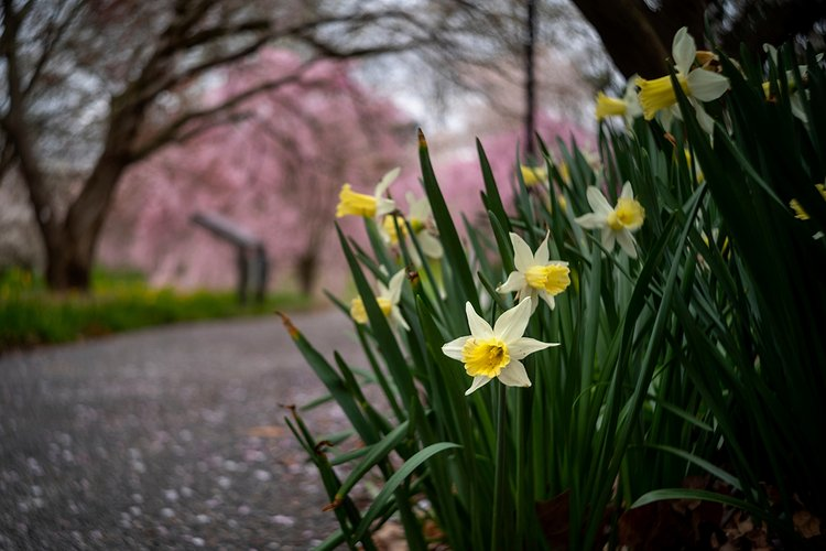 Daffodils in focus of bottom right of picture. In background out focus are pink leaves on paved ground.