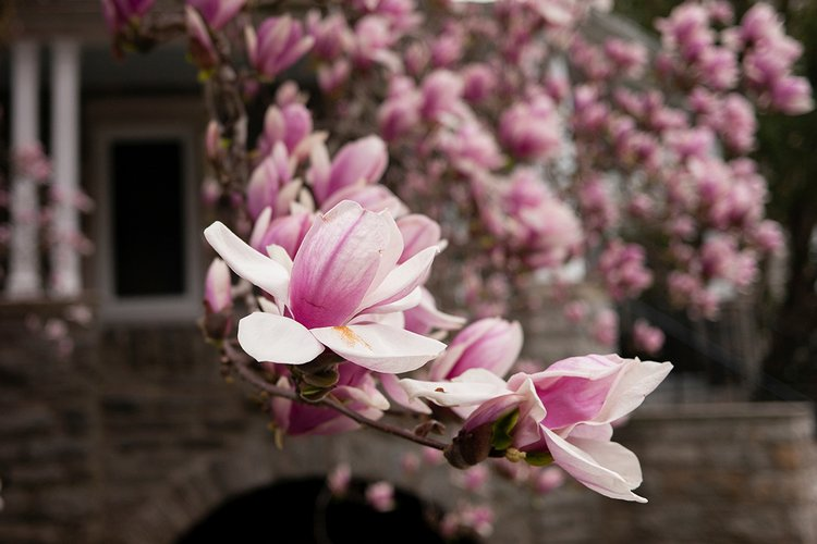 Pink and white flowers in full bloom in foreground focus in front of columns