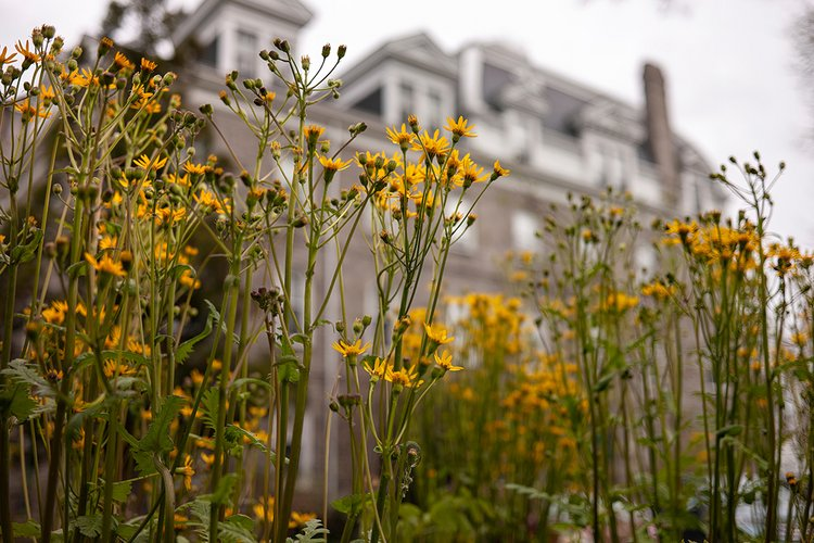 Stalks of yellow flowers dominate foreground; in background, domed building is out of focus.