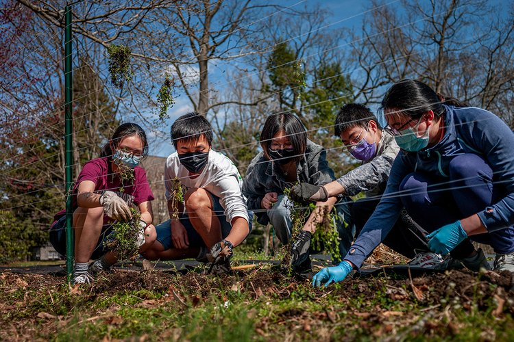 Five students kneel near green fence and pull weeds from dirt.
