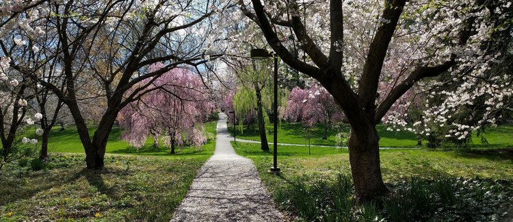 Flowering cherry trees at Swarthmore College