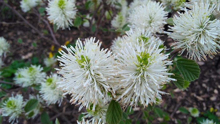 A Fothergilla garenii, colloquially known as dwarf fothergilla, found by the athletic facilities at Swarthmore College.