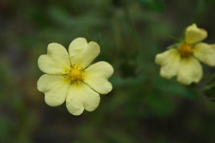 cinquefoil flower