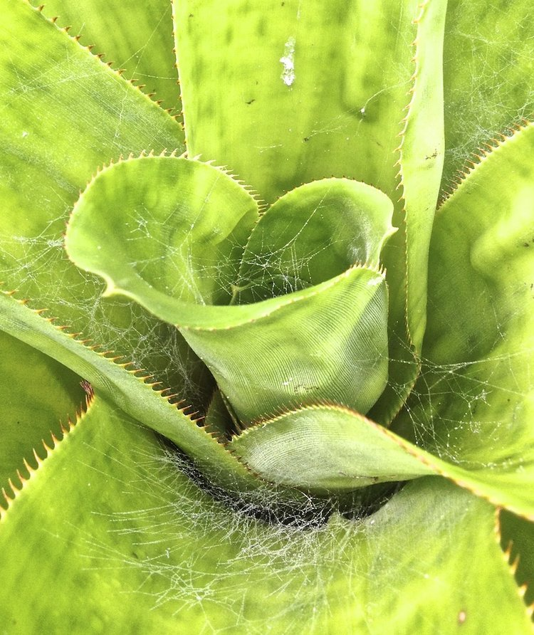 a spider web within a green Aechmea plant