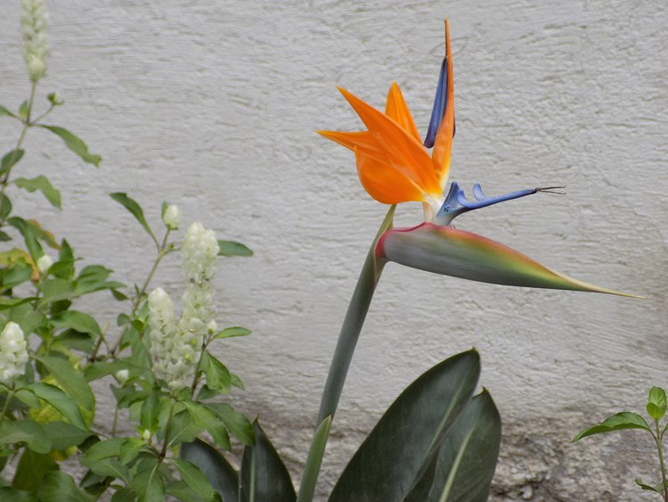 Strelitzia reginae, or the bird of paradise flower
