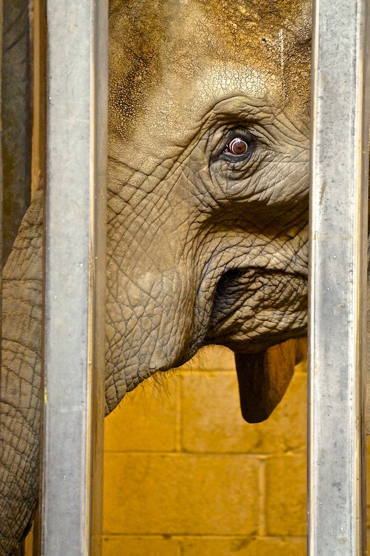 Close up of the face of an African Elephant