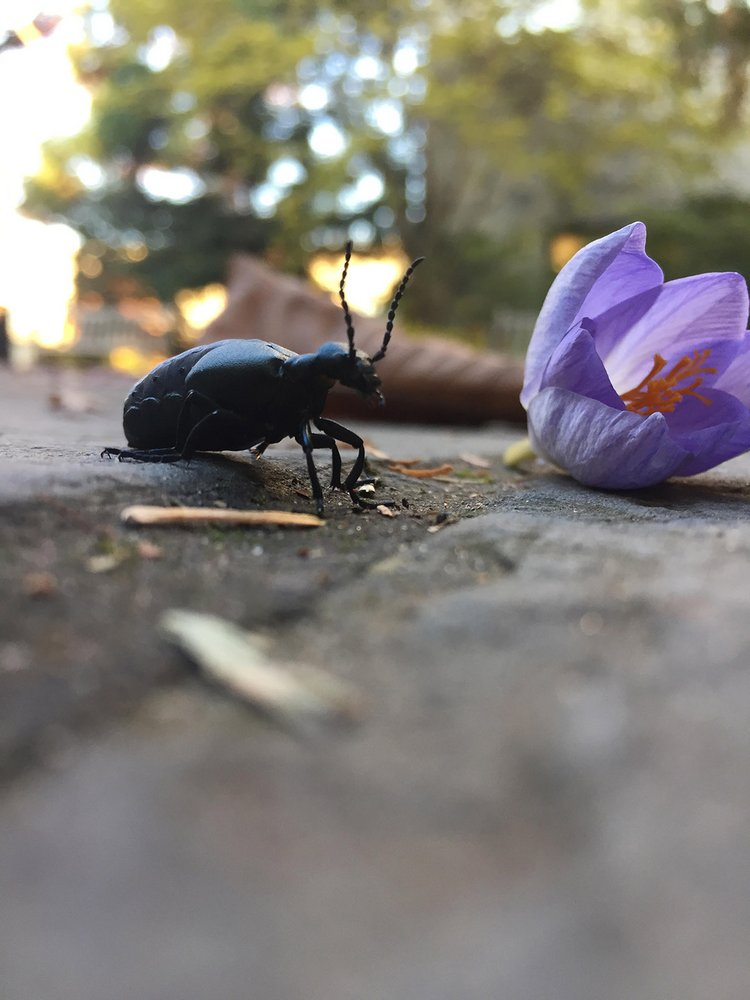 American Oil Beetle next to a crocus