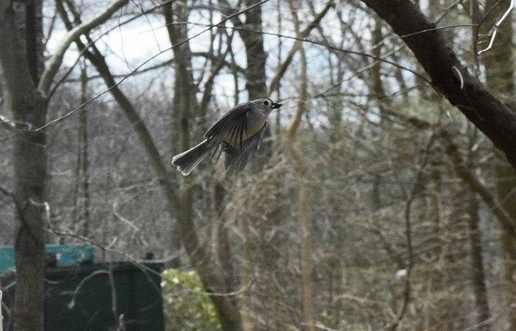 A tufted titmouse (Baeolophus bicolor) captured mid-flight at its downstroke