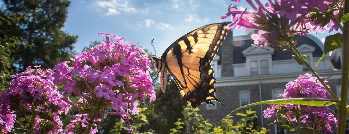 A butterfly in the Dean Bond Rose Garden