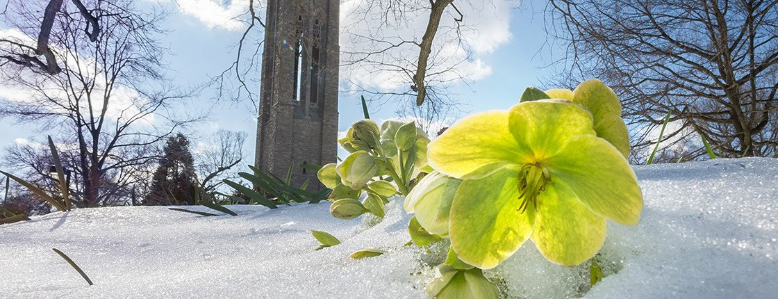 A flower peeks through the snow in front of Clothier Tower