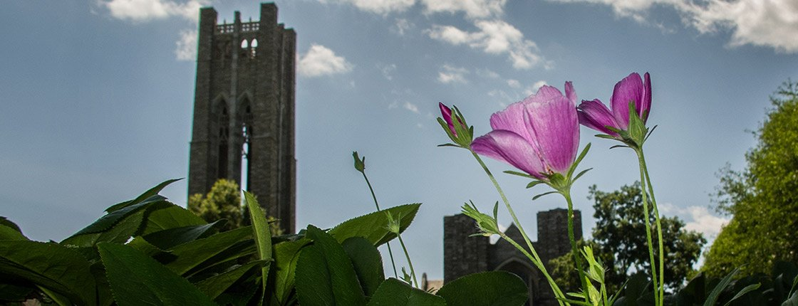 Two purple flowers grow with Clothier Bell Tower in the background