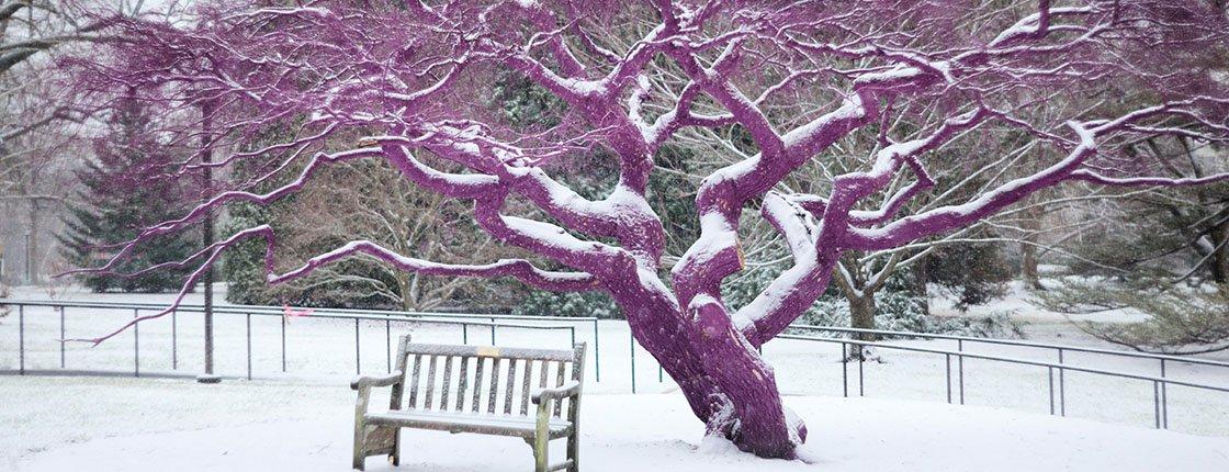 A purple tree in snow