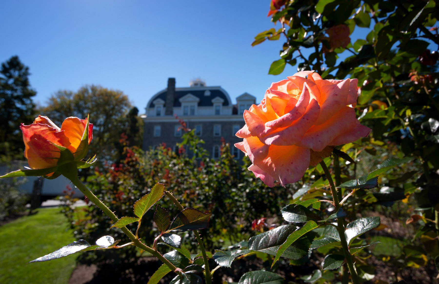 Dean Bond Rose Garden next to Parrish Hall