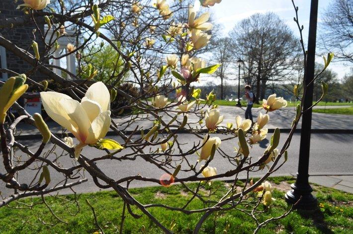 Yellow magnolia flowers